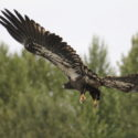 River drift juvenile bald eagle