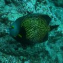 Triggerfish are common