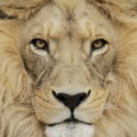 Up close and personal to the Barbary Lion