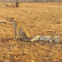 Two cheetahs just outside Bheajane
